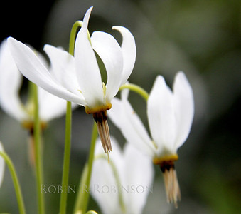 Shooting Stars, a white flower in my coastal, Phippsburg,  Maine garden. This blooms in spring