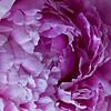 coastal Maine garden petals, corolla, filaments, anthers, styles and stigma petals, corolla, filaments, anthers, styles and stigma