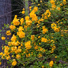 Kerria japonica is an old fashioned flowering shrub found in many Maine yards. It boasts gorgreous butterscotch colored flowers in May.