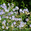 Yellow Canadian Swallowtail butterfly on blue geraniums, coastal Maine Phippsburg garden in June