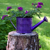 "Purple, tin watering can with purple verbena flowers, For more garden flowers of Maine visit <a href=""http://www.robinrobinsonmaine.com/MaineBOTANICALSwildflowers/BOTANICALS/13997293_xThqdt"">http://www.robinrobinsonmaine.com/MaineBOTANICALSwildflowers/BOTANICALS/13997293_xThqdt</a>"