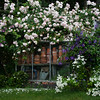 New Dawn climbing rose, purple clematis and Feverfew sprawling over my greenhouse, Phippsburg, Maine