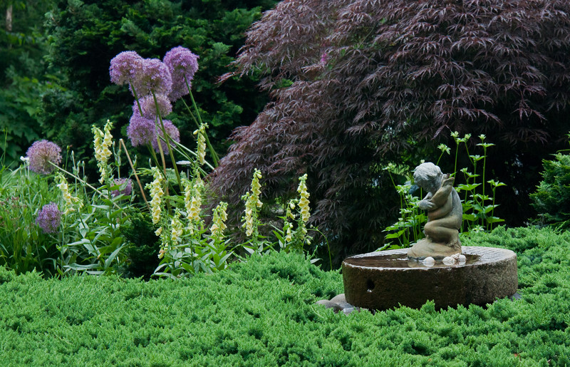 "Allim, yellow foxglove, digitalis grandiflora, Japanese maple, Inaba shidare and garden fountain of child holding fish in a sea of Bar Harbor juniper, Phippsburg, Maine coastal garden in June For more garden flowers of Maine visit <a href=""http://www.robinrobinsonmaine.com/MaineBOTANICALSwildflowers/BOTANICALS/13997293_xThqdt"">http://www.robinrobinsonmaine.com/MaineBOTANICALSwildflowers/BOTANICALS/13997293_xThqdt</a>"