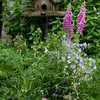 "Pink foxgloves and  blue geraniums with a rustic, wooden bird feeder.  Phippsburg, Maine coastal garden in late June For more garden flowers of Maine visit <a href=""http://www.robinrobinsonmaine.com/MaineBOTANICALSwildflowers/BOTANICALS/13997293_xThqdt"">http://www.robinrobinsonmaine.com/MaineBOTANICALSwildflowers/BOTANICALS/13997293_xThqdt</a>"