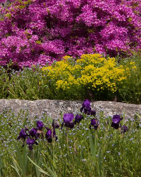 A Phippsburg, Maine garden with Lady's Mantle, azalea and German Bearded irises