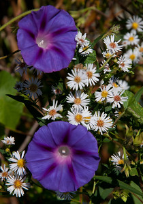 Morning Glories with Wood Asters, my late summer Phippsburg Maine garden For more garden flowers of Maine visit http://www.robinrobinsonmaine.com/MaineBOTANICALSwildflowers/BOTANICALS/13997293_xThqdt