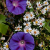 "Morning Glories with Wood Asters, my late summer Phippsburg Maine garden For more garden flowers of Maine visit <a href=""http://www.robinrobinsonmaine.com/MaineBOTANICALSwildflowers/BOTANICALS/13997293_xThqdt"">http://www.robinrobinsonmaine.com/MaineBOTANICALSwildflowers/BOTANICALS/13997293_xThqdt</a>"