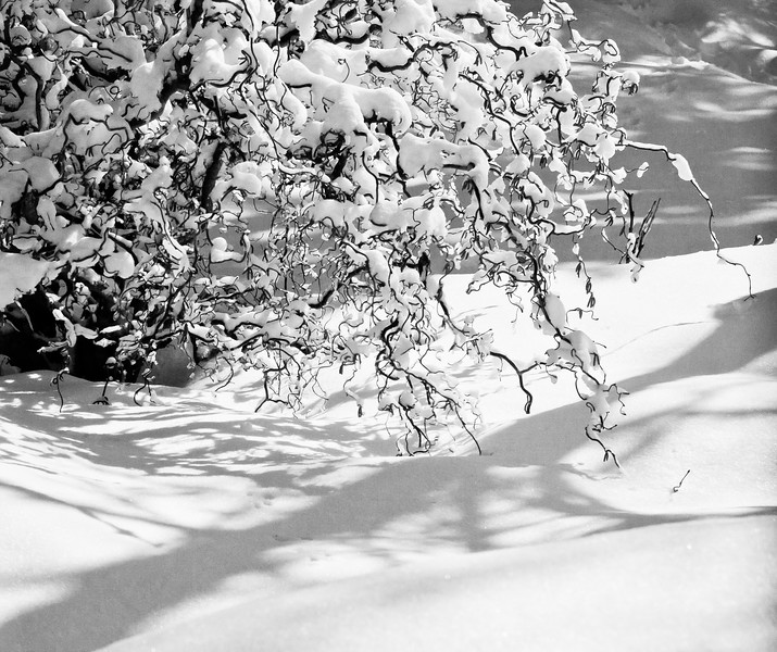 "Harry Lauder's Walking Stick in snow, balck and white, winter garden, Phippsburg Maine For more garden flowers of Maine visit <a href=""http://www.robinrobinsonmaine.com/MaineBOTANICALSwildflowers/BOTANICALS/13997293_xThqdt"">http://www.robinrobinsonmaine.com/MaineBOTANICALSwildflowers/BOTANICALS/13997293_xThqdt</a>"