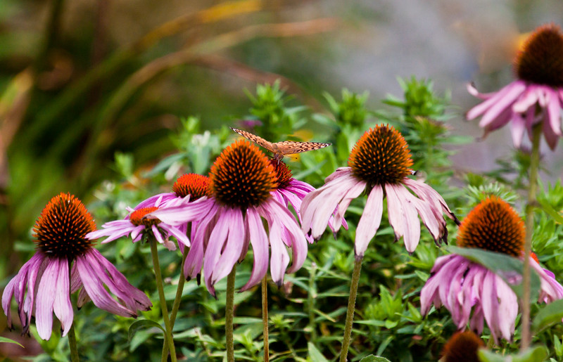 """Great Spangled Fritillary butterfly feeding on purple Cone flowers (Echinacea), Phippsburg Maine For more garden flowers of Maine visit <a href=""""http://www.robinrobinsonmaine.com/MaineBOTANICALSwildflowers/BOTANICALS/13997293_xThqdt"""">http://www.robinrobinsonmaine.com/MaineBOTANICALSwildflowers/BOTANICALS/13997293_xThqdt</a>"""