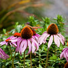 "Great Spangled Fritillary butterfly feeding on purple Cone flowers (Echinacea), Phippsburg Maine For more garden flowers of Maine visit <a href=""http://www.robinrobinsonmaine.com/MaineBOTANICALSwildflowers/BOTANICALS/13997293_xThqdt"">http://www.robinrobinsonmaine.com/MaineBOTANICALSwildflowers/BOTANICALS/13997293_xThqdt</a>"