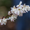 White Forsythia is an early flowering shrub in my coastal Maine garden in April