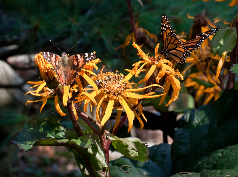 "American Lady and Monarch butterflies on Ligularia Desdemona in my coastal, Phippsburg, Maine garden For more garden flowers of Maine visit <a href=""http://www.robinrobinsonmaine.com/MaineBOTANICALSwildflowers/BOTANICALS/13997293_xThqdt"">http://www.robinrobinsonmaine.com/MaineBOTANICALSwildflowers/BOTANICALS/13997293_xThqdt</a>"