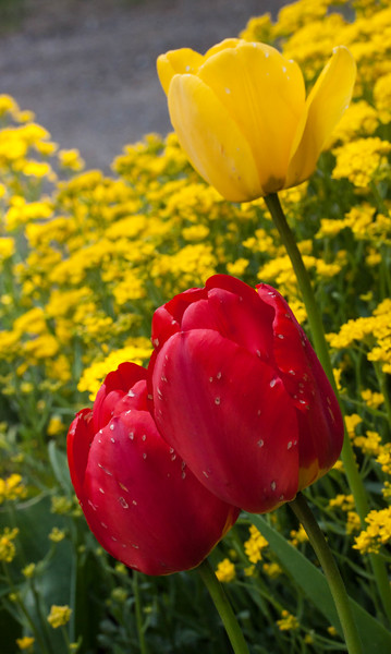 Red and Yellow tulips with Basket Of Gold, perennial allysum, yellow, Phippsburg, Maine coastal garden in spring