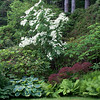 Cornus kousa, white flowering dogwood, Japanese maple, hosta and ferns in my coastal, Phippsburg Maine garden in late June For more garden flowers of Maine visit http://www.robinrobinsonmaine.com/MaineBOTANICALSwildflowers/BOTANICALS/13997293_xThqdt