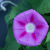 "Hot pink Morning Glory For more garden flowers of Maine visit <a href=""http://www.robinrobinsonmaine.com/MaineBOTANICALSwildflowers/BOTANICALS/13997293_xThqdt"">http://www.robinrobinsonmaine.com/MaineBOTANICALSwildflowers/BOTANICALS/13997293_xThqdt</a>"