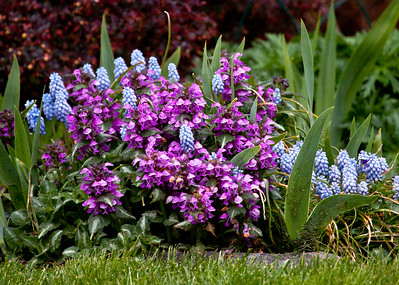 purple lamium, Purple Dragon, with grape hyacinths, Valerie Finnis in light blue, coastal Maine Phippsburg garden in spring For more garden flowers of Maine visit http://www.robinrobinsonmaine.com/MaineBOTANICALSwildflowers/BOTANICALS/13997293_xThqdt