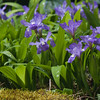"For more garden flowers of Maine visit <a href=""http://www.robinrobinsonmaine.com/MaineBOTANICALSwildflowers/BOTANICALS/13997293_xThqdt"">http://www.robinrobinsonmaine.com/MaineBOTANICALSwildflowers/BOTANICALS/13997293_xThqdt</a>"