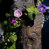 "Iron horse on faux bois hitching post with Morning Glory blossoms, my Phippsburg Maine garden For more garden flowers of Maine visit <a href=""http://www.robinrobinsonmaine.com/MaineBOTANICALSwildflowers/BOTANICALS/13997293_xThqdt"">http://www.robinrobinsonmaine.com/MaineBOTANICALSwildflowers/BOTANICALS/13997293_xThqdt</a>"