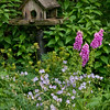 """For more garden flowers of Maine visit <a href=""""http://www.robinrobinsonmaine.com/MaineBOTANICALSwildflowers/BOTANICALS/13997293_xThqdt"""">http://www.robinrobinsonmaine.com/MaineBOTANICALSwildflowers/BOTANICALS/13997293_xThqdt</a>"""