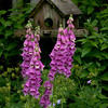 Pink foxgloves and  blue geraniums with a rustic, wooden bird feeder.  Phippsburg, Maine coastal garden in late June For more garden flowers of Maine visit http://www.robinrobinsonmaine.com/MaineBOTANICALSwildflowers/BOTANICALS/13997293_xThqdt