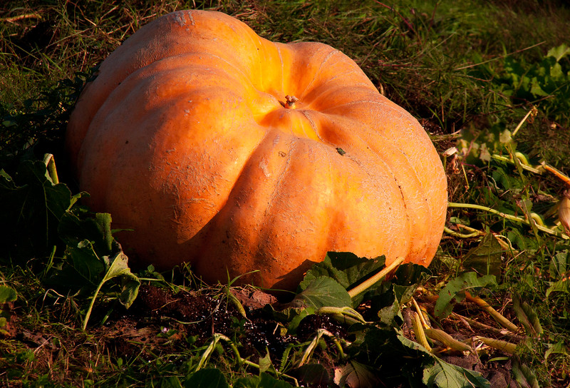 The Great Pumpkin! This pumpkin was HUGE, at least four feet across in a field in Thomaston Maine in the fall.