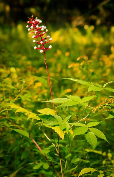 "Actea berries, ""Doll's Eyes,"" Phippsburg Maine Totman Cove Preserve"