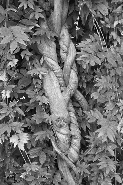 wisteria vine, study in black and white