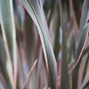 detail of New Zealand flax which I keep in my greenhouse over the winter, then put out in summer. This one was called Candy if I remember correctly. This almost looks abstract.