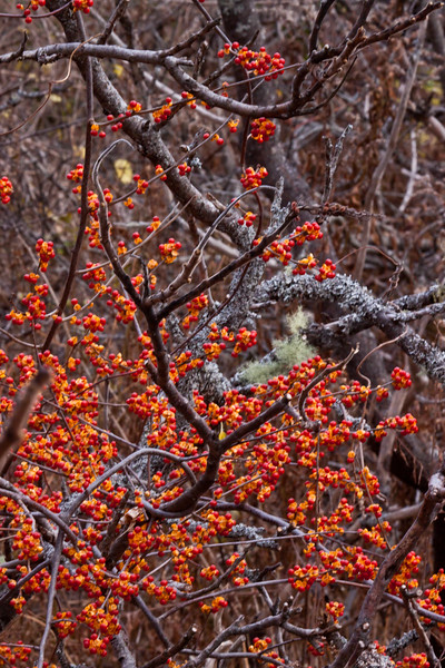 Bittersweet berries twining around Staghorn sumac and lichen encrusted poplar. The stunning berries of the Bittersweet vine are often used as holiday decorations. Though beautiful, this plant should be discouraged from propagating as a highly invasive species that is choking out native flora.