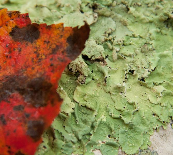 Red maple leaf on green lichen, Phippsburg Maine, fall/autumn