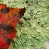 Red maple leaf on green lichen, Phippsburg Maine, fall/autumn
