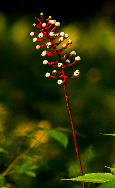 """Actea, """"Doll's Eyes"""" berries in fall, Totman Cove Preserve, Phippsburg Maine in the fall"""