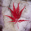 Japanese Maple leaf on Rose quartz in my coastal Maine, Phippsburg garden in the fall