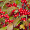 Winterberry, Ilex verticilata is an important food for birds and small mammals, Phippsburg Maine