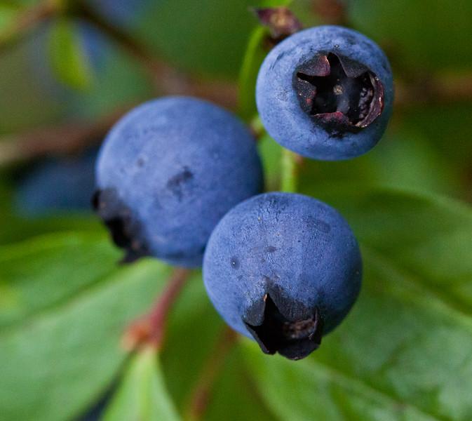 Maine Blueberries, trio, Phippsburg Maine