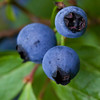 Maine Blueberries, trio, Phippsburg Maine