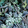 first frost on burgundy colored ajuga leaves and lamium wth dried shriveled leaves of Lilly Of The Valley, Phippsburg, Maine coastal garden late fall