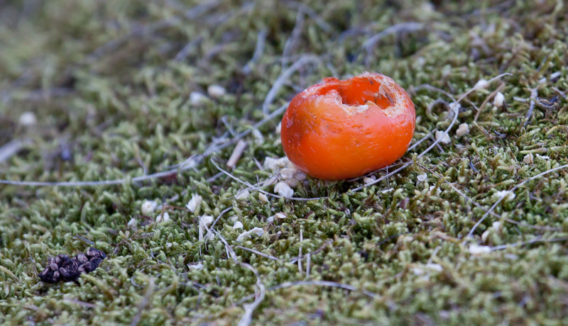 This is a rose hip that a rodent, probably a Red Squirrel dined upon and left an empty cup on a bed of moss. Phippsburg Maine.