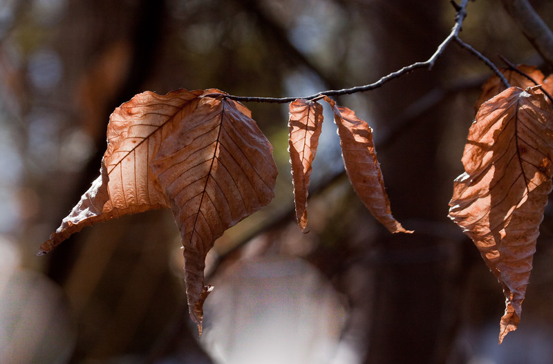 Beech tree leaves in fall, Phippsburg, Maine