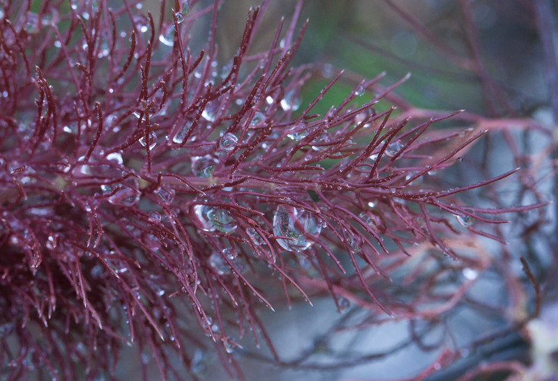 Bronze fennel in my coastal Phippsburg Maine garden after a rain