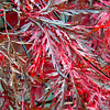 , Japanese maple leaves, Inaba Shidare