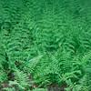 Lady ferns, Phippsburg Maine, Athyrium felix femina