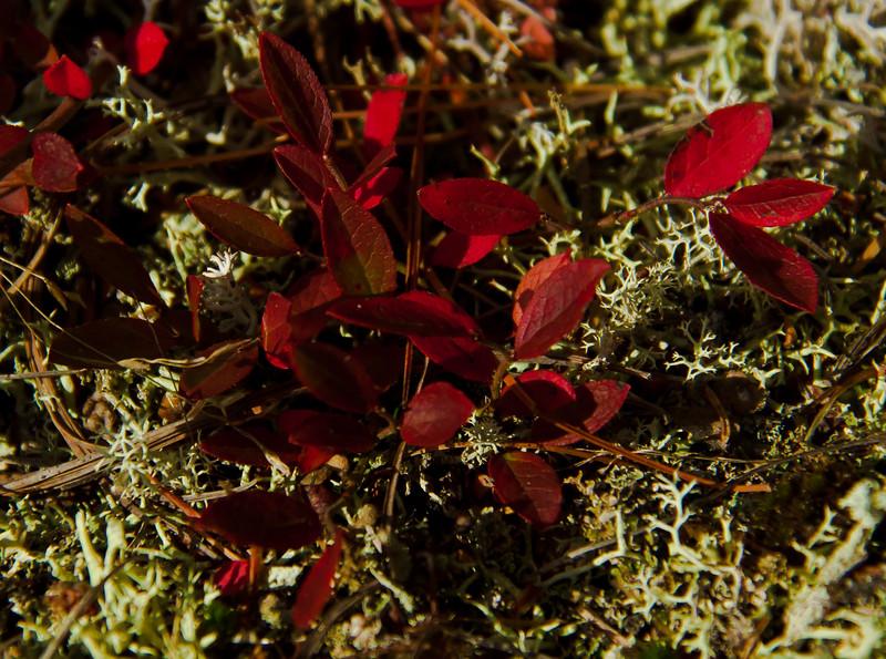 Red leaves in lichen in fall, Wilbur Preserve, Phippsburg Maine Cox's Head, Coxs Head, Wilbur Preserve,