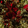 Red leaves in lichen in fall, Wilbur Preserve, Phippsburg Maine Cox's Head, Coxs Head, Wilbur Preserve,