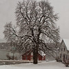 fresh snow on Horse Chestnut tree with red barn in background, Thomaston, Maine winter scenic, St. George River. Famous chef and food writer, Anthony Bourdain did an episode of No Reservations in this red building.