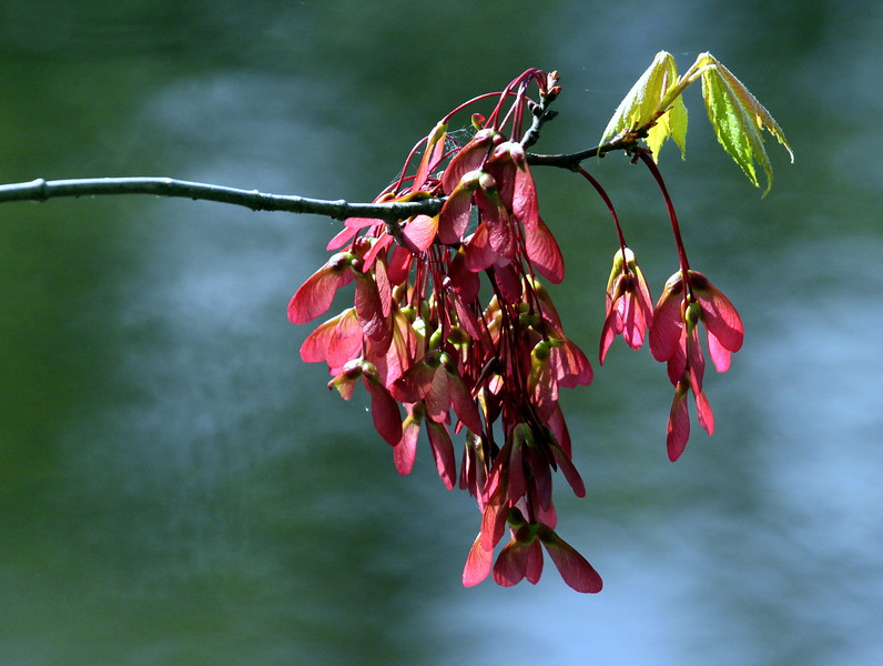 """Maple Flowers, """"helicopters"""" and new leaves, Phippsburg, Maine"""