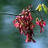 "Maple Flowers, ""helicopters"" and new leaves, Phippsburg, Maine"