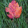 A single, red Maple leaf on green grass, Phippsburg, Maine October