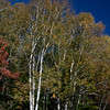 Birch trees with fall foliage colors, gold and yellow with lovely, crisp, white bark, Maine nature
