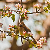 Cedar Waxwing In Apple Blossoms, old apple growth in Maine